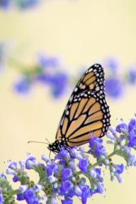 monarch1-1
